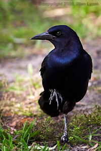 Black bird on one leg in Altamonte Springs, Florida.