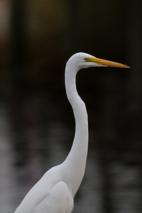 Great Egret in Altamonte Springs, FL 2011