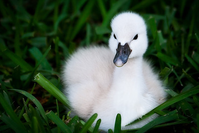 Baby Swan in the grass by Cranes Roost in Altamonte Springs, Florida.
