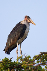 "Marabou stork at the top of a tree in the Nairobi National Park. These guys are really big- I mean like up to 5 feet tall and 20 pounds. They are known as ""undertaker birds"", due to the profile they create from behind. Nairobi, Kenya 2012."