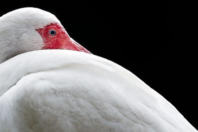 White Ibis profile. Lake Eola, ORlando, FL 2012.