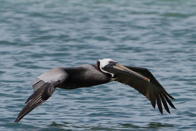 Brown Pelican flying over the beach. Clearwater, FL 2012.