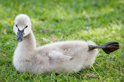 Baby swan stretching his legs. Lake Eola, Orlando FL 2012.