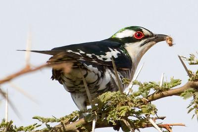 Diederik Cuckoo having breakfast in the Nairobi National Park, Kenya 2012.