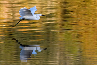 Egret floating over Lake Alice at UF in Gainesville, Florida.