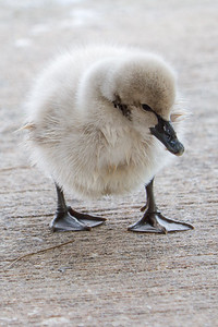 Baby swan at Lake Eola Park, Orlando FL