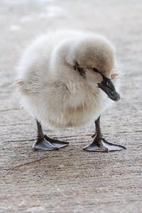 Baby swan at Lake Eola Park, Orlando FL