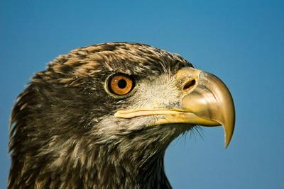 Eagle profile in Central Florida.