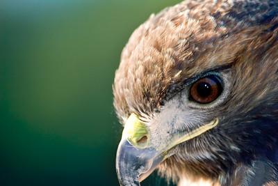 Peregrine Falcon profile in Central Florida.