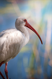 Ibis looking out towards Lake Lily in Maitland Florida 2009.