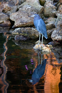 Heron and sunset reflection at Cranes Roost in Altamonte Springs, Florida.