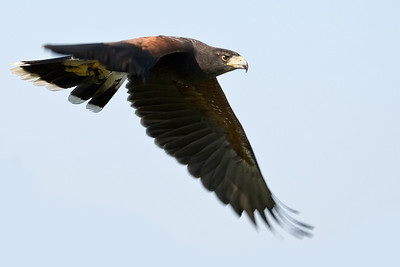 Red Tailed Hawk in flight in Central Florida.