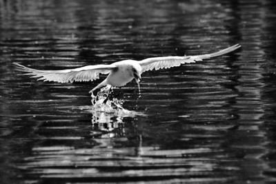 Gull coming out of the water in B&W, Lake Eola, Orlando, FL.