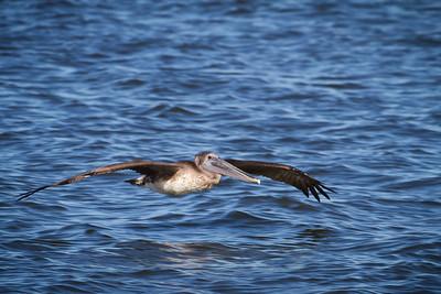 Brown Pelican in flight across the inlet, Sebastian, Fl 2011.
