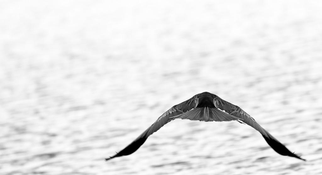 Black and White glide across Lake Eola, Orlando, FL 2013.