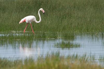 Flamingo at Lake Nakuru, Kenya 2011.