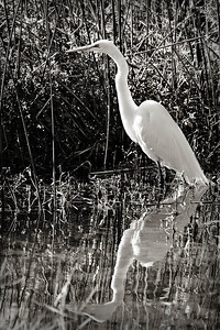 Egret in black and white by Lake Lilly in Maitland, Florida 2010.