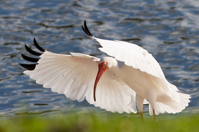 White Ibis doing his best Elvis pose! Cranes Roost, Altamonte Springs, FL 2012.