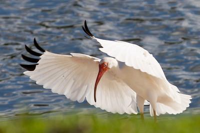 White Ibis doing his best Elvis pose! Cranes Roost, Altamonte Springs, FL 2012.
