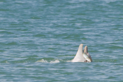 Wild dolphin having lunch off the Clearwater coastline, FL 2012.