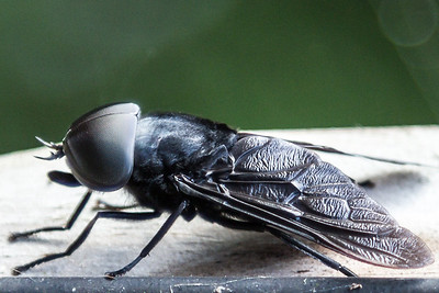 Horse Fly macro, Oakland Nature Preserve, Summer 2012.