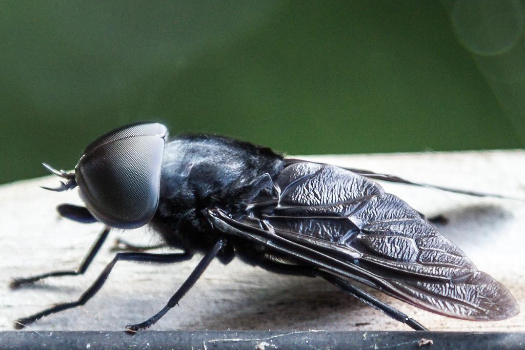 Horse Fly macro, Oakland Nature Preserve, Summer 2012.