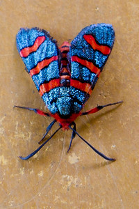 Colorful moth in the Majete Wildlife Preserve, Blantyre, Malawi. Dec, 2011.