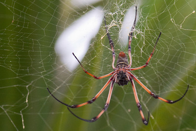 Big Palm Spider in Mahe, Seychelles 2012.