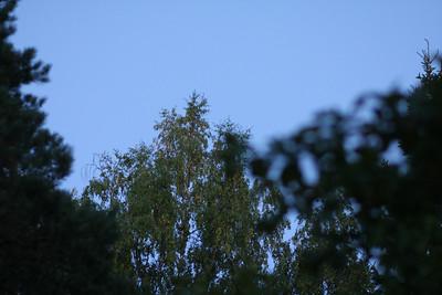 Trädtoppar kväll