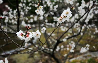 Umenomiya-3534