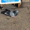 a Brooklyn Pigeon.. always one around