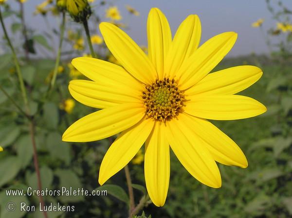 Jerusalem Artichoke Flower