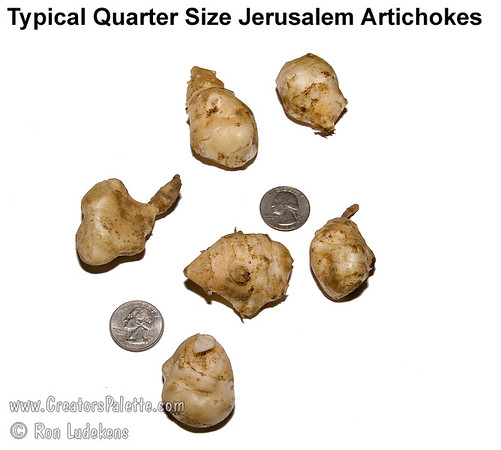 Quarter Sized Tuber of Jerusalem Artichoke