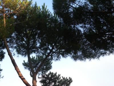 Côte d'Azur pins