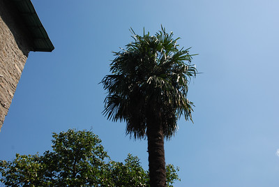 Côte d'Azur palmier