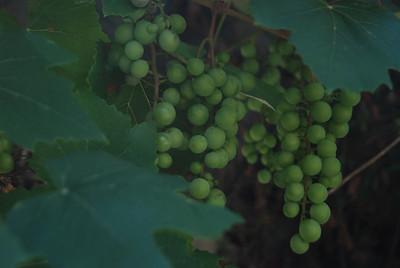 Côte d'Azur raisin