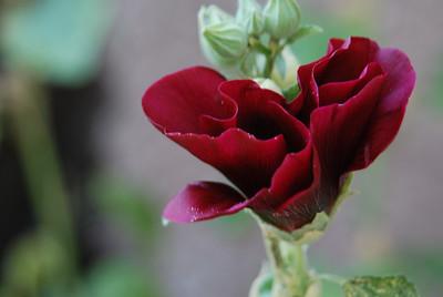 Côte d'Azur rose trémière