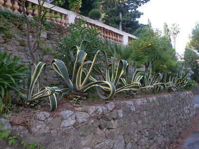 Côte d'Azur agave
