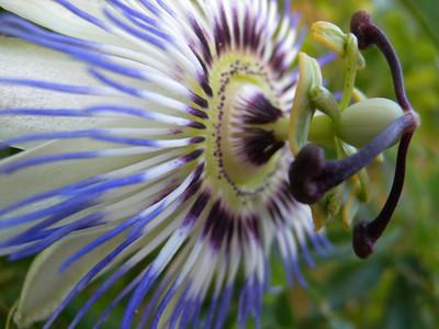 Côte d'Azur fleur de la passion