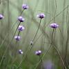 Wild Hyacinths
