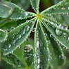 Morning Dew 1