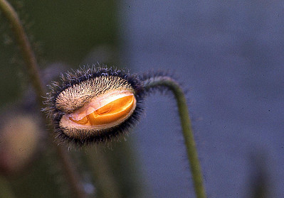 FlowerSeed