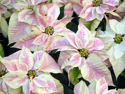 FlowerBush Bush