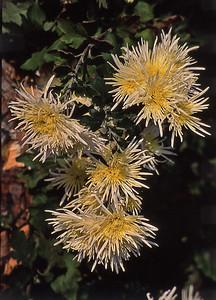 FlowerClump