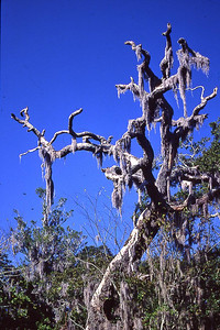 Moss Tree1t