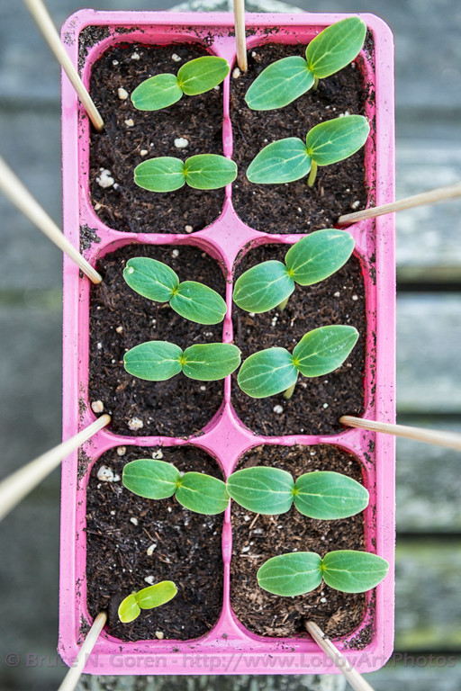 Cucumber Seedlings