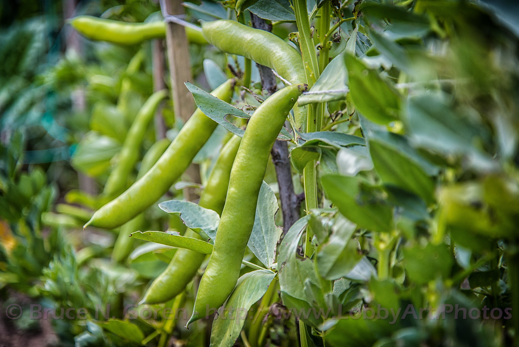 Fava Bean Rockettes