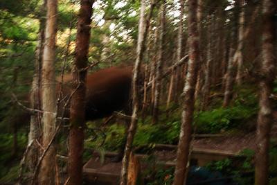 Orignal sur le sentier James Callaghan, parc national de Gros Morne, Terre-Neuve