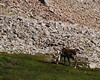 Caribou - Sentier James Callaghan, parc national de Gros Morne, Terre-Neuve Cariboo - James Callaghan trail (Gros Morne mountain) - Gros Morne national par