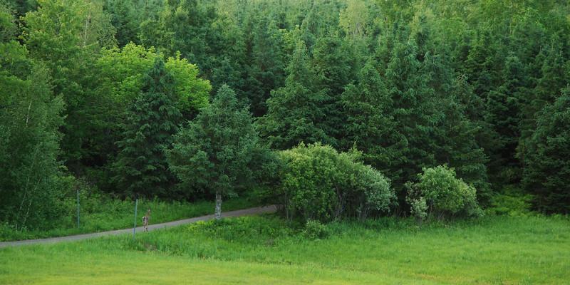 Cerf de virginie (chevreuil) sur la piste cyclable - Route Verte, parc de la Yamaska